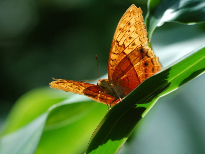 File:Kuranda Butterfly Sanctuary.jpg