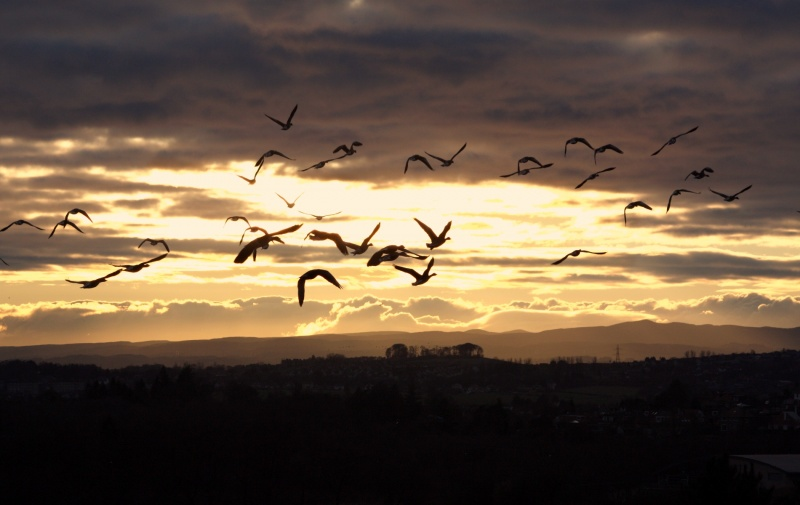File:Geese at Sunset.jpg
