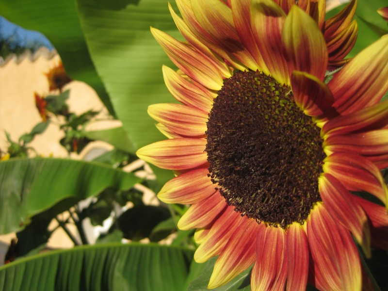 File:Wallpaper-j5-sunflower.jpg