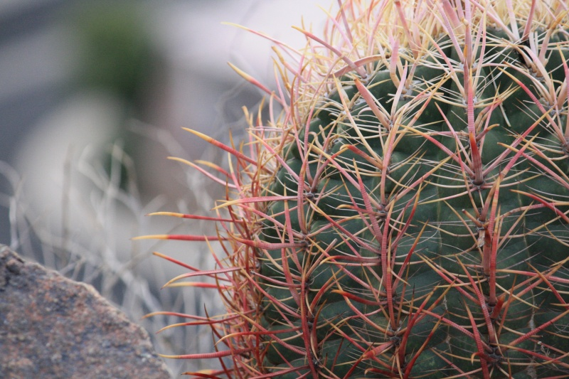 File:Barrel cactus.jpg