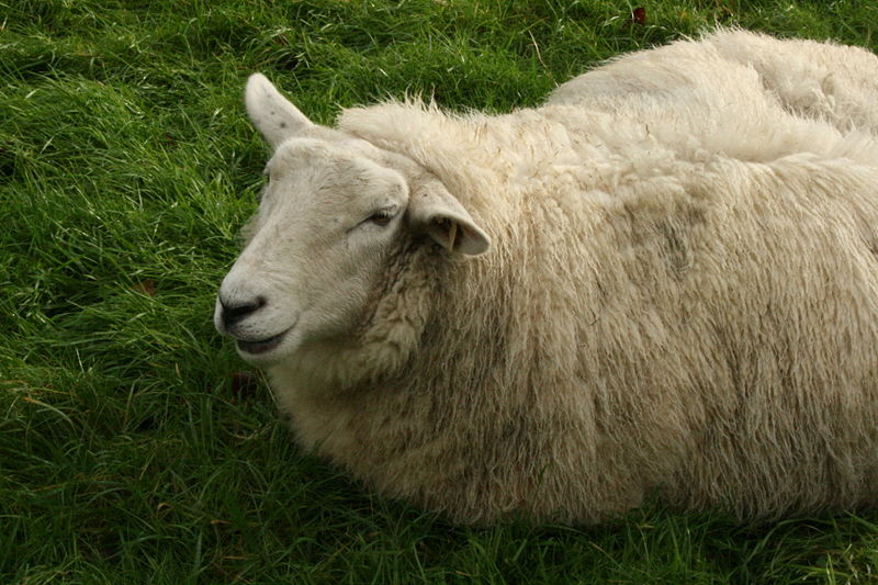 File:Wallpaper-mizmo-sheep.jpg