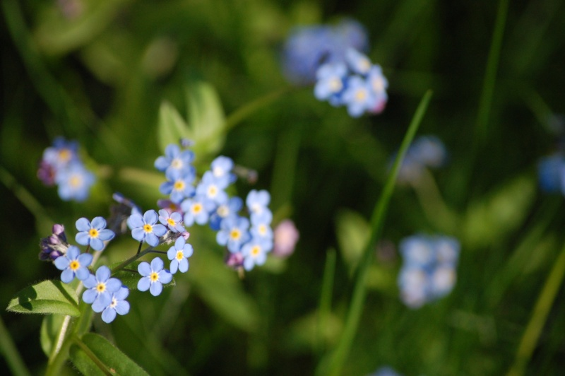 File:Blue-Flowers.jpg